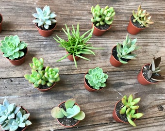 2 inch Succulents pack of 25 - perfect for gifts