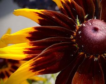 Photograph- Sunflower up close