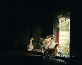 Chicken Photograph, Farm Animal Photography, Rustic Home Decor