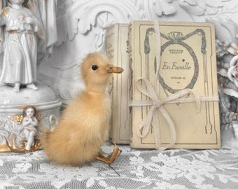 Vintage taxidermy chicks / old little chick