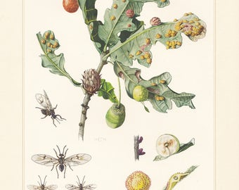 Vintage lithograph of the gallflies or gall wasps from 1956