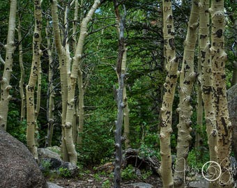 Aspen grove, aspen trees, summer, Maroon Bells, Colorado