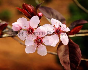 Cherry Blossoms Digital Photo-Digital Download-Flowers-Blooms-Photography