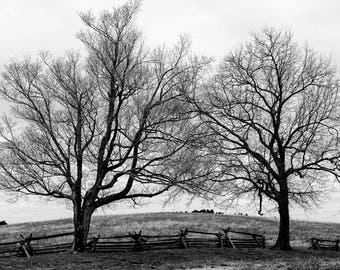 Two Trees on Swollen Earth, black and white photograph, landscape photo, picture of two big trees
