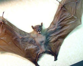 Real Framed Bat-Xlarge Cynopyerus Brachyotis Female Shadowbox Display B1325