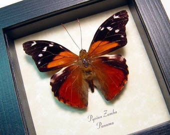 Real Framed Rare Pycina Zamba Cloud Forest Beauty Butterfly 8489