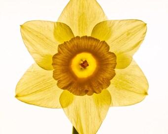 Daffodil 1, Flower print, Balance, Harmony, Yellow, Fine Art Photography Print, Botantical Art