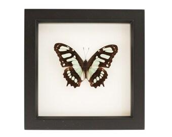 Framed Butterfly Display Malachite Butterfly