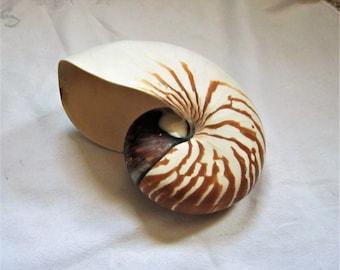 """Large Nautilus 6"""" Seashell"""