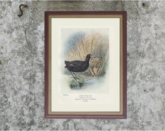 Coot, Enhanced Reproduction Antique Bird Print, to Frame, Plate 33, 1910, George James Rankin, Landsborough Thomson
