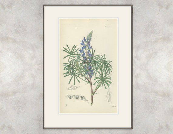 Lupin, Rare Antique Hand Colored Botanical Book Plate