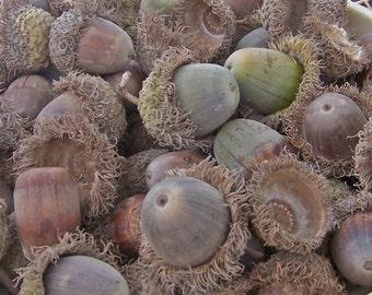 RESERVED for J May, Do Not Buy, 15 Bur Oak Acorns, Huge Acorns from the Bur Oak Tree, Free Shipping