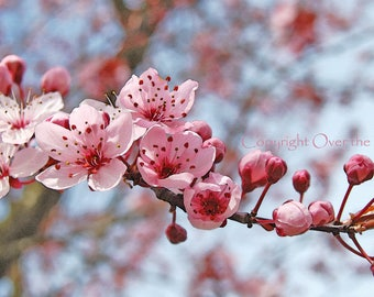 Flower Photography Greeting Card Pink and Cranberry Cherry Tree Blossoms