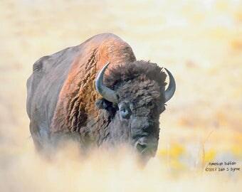 wildlife print, American buffalo print, wildlife art, animal print, animal art, wildlife décor, animal décor, wildlife painting, digital art