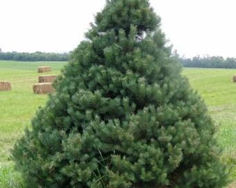 Scotch Pine Tree Seeds, Pinus sylvestris, Central Massif – Auvergna - 25 Seeds