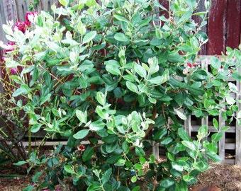 Pineapple Guava Tree Seeds, Feijoa sellowiana - 25 Seeds