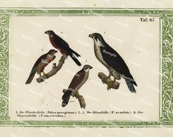 Natural History original hand colored print of Hawks over 150 years old Rare find
