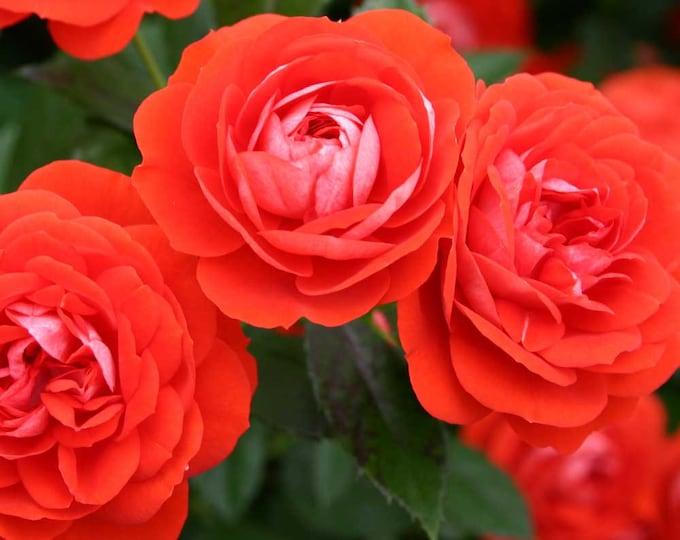 "Brilliant Veranda ® Rose Bush Plant Own Root in 5"" Deep Root Container Reblooming Orange Red Rose - Spring Shipping"