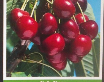 4ft live Stella Cherry Tree Sweet Cherries Trees Large Juicy Fruit Orchard Plant Landscape Yard Lawn Design Garden Gardens Landscaping Now