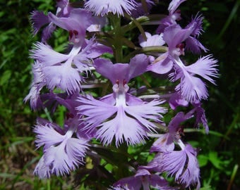 WF)~GREATER PURPLE Fringed Orchid~Seeds!!~~~~~Platanthera grandiflora!