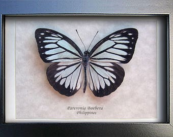 Powder Blue Pareronia Boebera Female Real Butterfly In Shadowbox