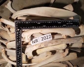 Medium Cow Rib Bones Set of 5 In Each Lot - NR2022