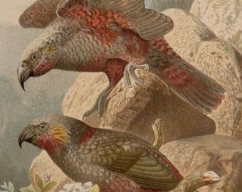 """Antique print.1884.Birds:The PARROT NESTOR.Chromolithograph.Natural history. 133 years old print.9.8x6.6"""" or 25X17cm."""