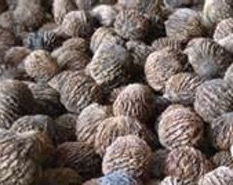 Organic grown american black walnuts approx 14 lbs