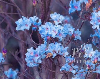 "Nature photography - blue and purple ""In the haze"" - colorful photography print"