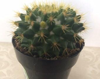 Small Cactus Plant. Mammillaria Marksiana. A unique, globular cactus with Lemon Yellow spines.