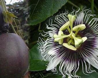 """Possum Purple Edible Passion Vine Plant - Passiflora edulis - Exotic! - 4"""" Pot"""