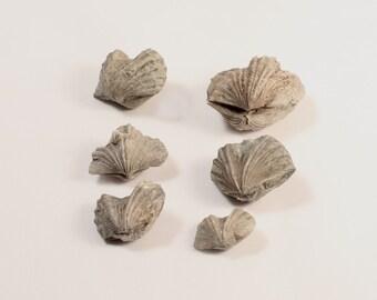 Brachiopod Fossils, Set of 6
