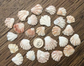 Cats Paw Sea Shells (lot of 25 shells)