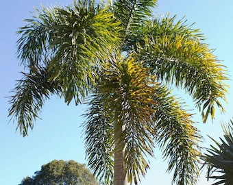 "Live Healthy Foxtail Palm available in 2 sizes. 12-14"" or 18-20"".  Grown organically.  Cannot ship to CA, AZ or HI."