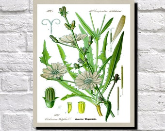 Chicory Illustration, Botanical Print, Vintage Plant illustration Kitchen Wall Art Decor Book Plate Print  0510