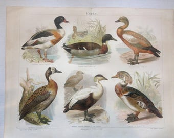 "Lithography, ""Ducks""."