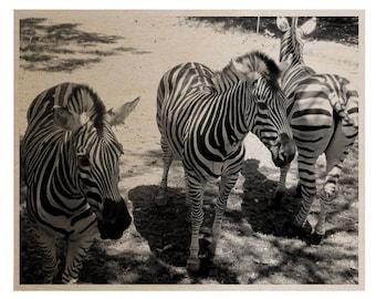 3 Zebras Wood Print