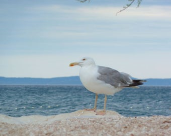 Sea Gull, Nature Photography
