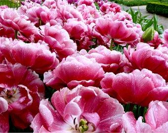 Pink Flower Print, Keukenhof, Netherlands Travel Photography, Fine Art Print, Large Wall Art, Flower Photography, Raindrops - Dutch Blooms
