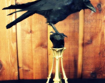Authentic European Raven & Bone Victorian Display By Nocturnal Relics 1st payment 150.00 of 645.00