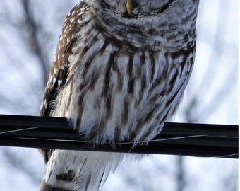 On the Wire (Barred Owl) Greeting Card