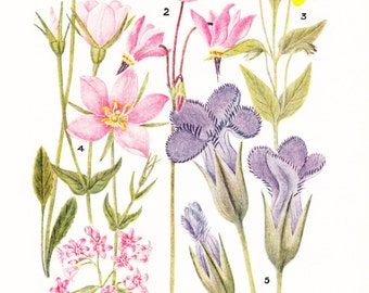 1930s Flower Print - Primrose - Vintage Home Decor Botany Art Illustration for Nature Science Woman Great for Framing