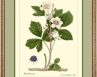 DEWBERRIES - Vintage Botanical print reproduction 308