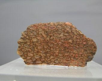 Dinosaur Bone Fossil Lapidary Rough Specimen 27.79 gram Utah Nice quality Lapidary, Collectible or Jewelry Material DanPickedMinerals