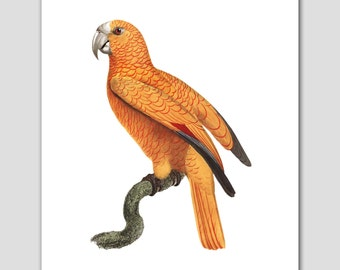 Bird Art Print (Unique Parrot Artwork, Yellow Wall Decor) -- 8x10 or 11x14 -- 18th Century Artist