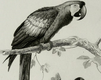 1849 Antique print of BIRDS: PARROT and WOODPECKER. Ornitholgy. Parrots. Natural History. 167 years old lithograph
