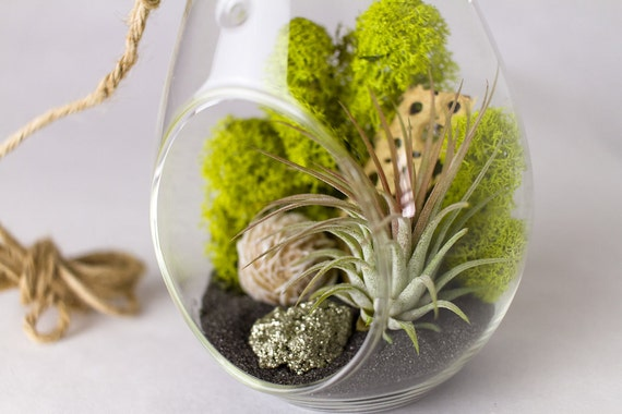 DIY Terrarium Kit Desert Rose + Pyrite Air Plant || Neutral Decor || Hanging Teardrop