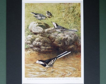 Antique Pied Wagtails Print, Stream Decor, Old Ornithology Gift for Bird Lover, George Edward Collins Picture, Available Framed, Nature Art