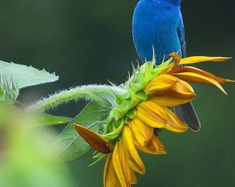 ASU)~BLACK OIL Sunflower~Seeds!!~~~~~~Feed Your Song Birds!!!