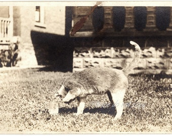 Curious kitty cat ~ Vintage Snapshot Photo